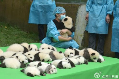 """宇宙第一天团!23只熊猫幼仔首秀""""熊猫瘫"""""""