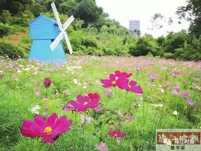 """"""" 三山森林公园 波斯菊五彩斑斓 位于桂城的三山森林公园,占地180亩"""
