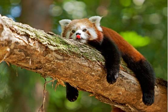 如果说小熊猫的基调是圆滚滚的的可爱风,那么小浣熊就是贼兮兮的猥琐
