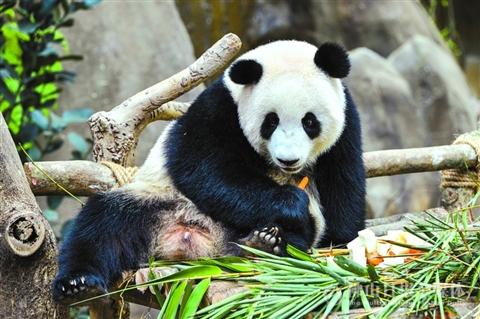 """在马来西亚吉隆坡的马来西亚国家动物园,大熊猫""""暖暖""""在吃胡萝卜."""