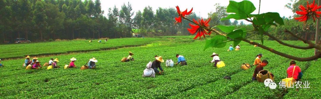 免费开放!高明老茶园300亩春茶进入采摘季